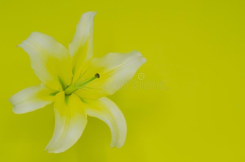 Fleur blanche et jaune fraîche de lis de couleur image libre de droits