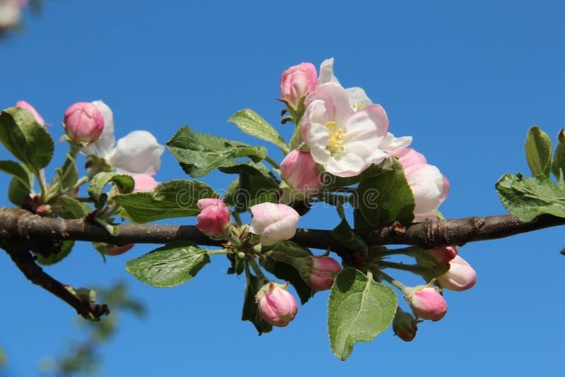 Fleur blanche et rose de pomme, plan rapproché contre un ciel bleu photos libres de droits