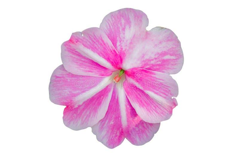 Fleur blanche et rose de walleriana d'Impatiens photographie stock libre de droits