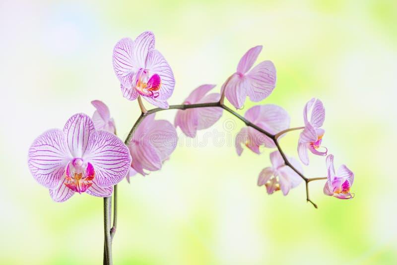 Fleur blanche et rose rayée de phalaenopsis d'orchidées photo libre de droits