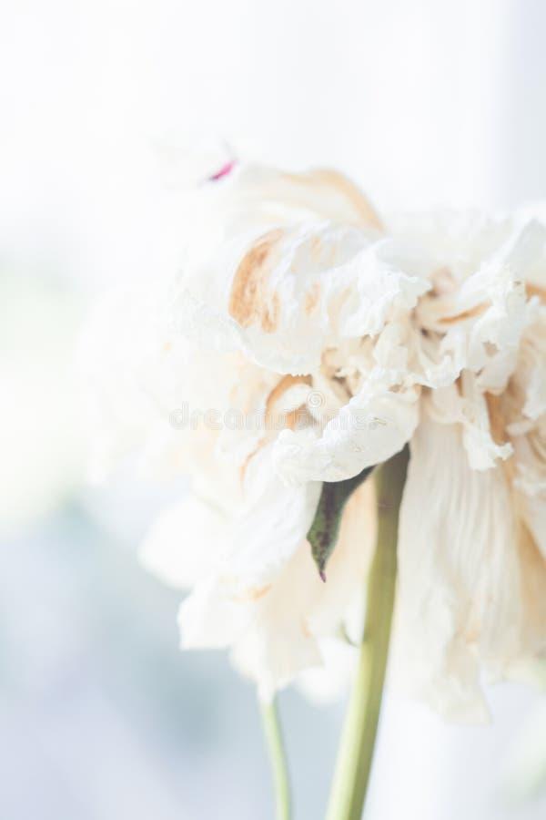 Fleur blanche fan?e de pivoine photo libre de droits