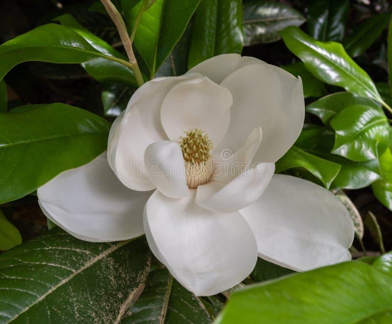 Fleur blanche géante de floraison magnifique de magnolia à un jardin botanique à Durham, la Caroline du Nord photographie stock libre de droits