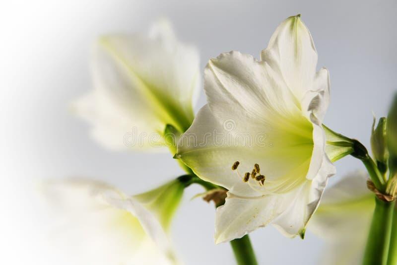 Fleur blanche Hippeastrum, fin romantique d'amaryllis vers le haut de tir de photos libres de droits