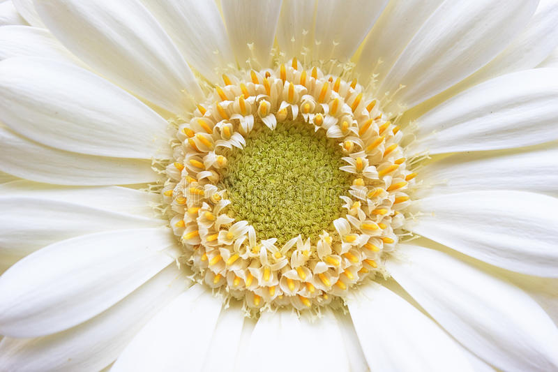 Fleur blanche jaune de Gerbera photo libre de droits
