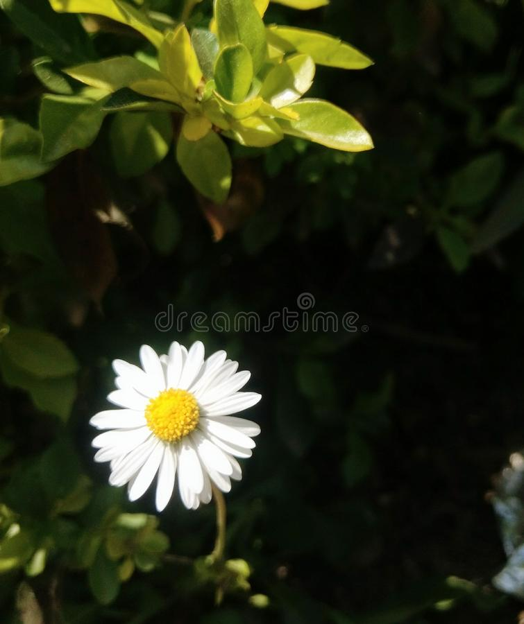Fleur blanche minuscule images stock