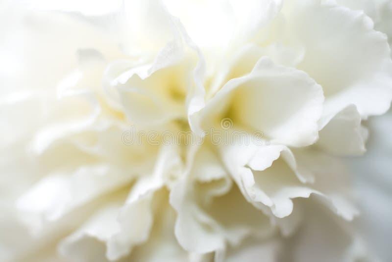 Fleur blanche molle d'oeillet avec les pétales doux photo libre de droits