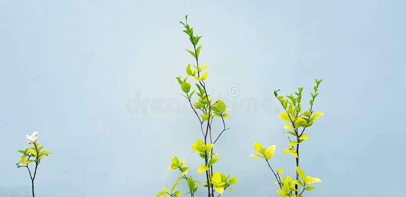 Fleur blanche ou mok fleurissant de feuilles vertes isolées sur fond de mur gris avec espace de copie en ton vintage image libre de droits