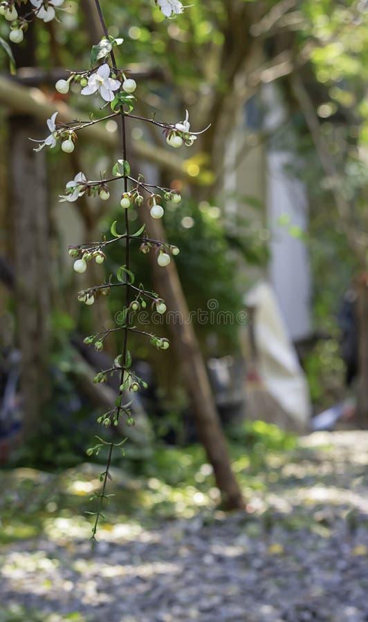 Fleur blanche ou wallichii Merr de Clerodendrum dans le jardin photos libres de droits