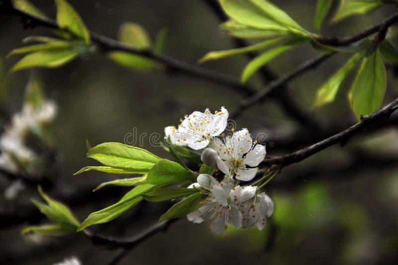 Fleur blanche pure de prune images libres de droits