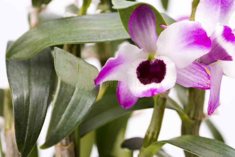 Fleur blanche rose d'orchidée photo libre de droits