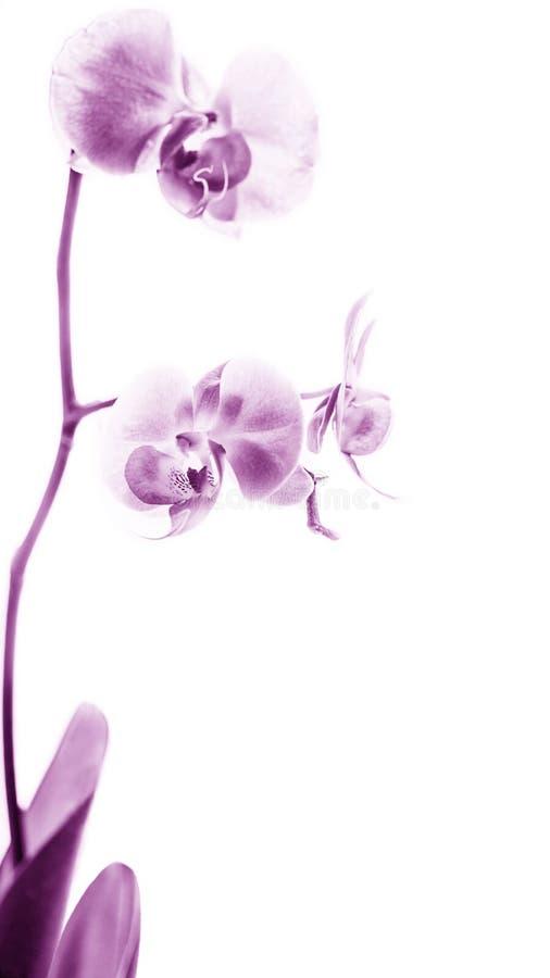 Fleur blanche rose d'orchidée de Phalaenopsis en fleur photographie stock libre de droits