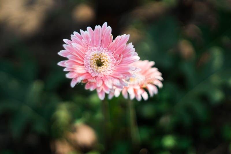 Fleur blanche rose molle de Gerbera de frontière avec le fond de tache floue photo stock