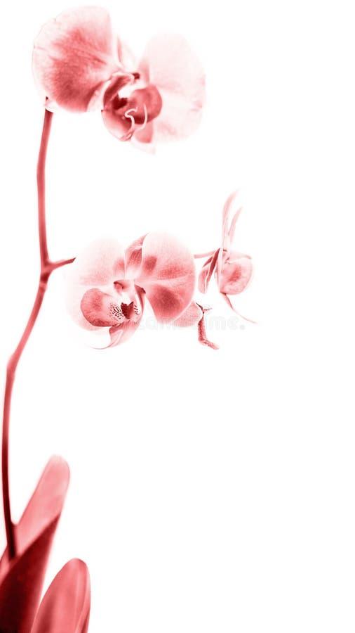 Fleur blanche rouge d'orchidée de Phalaenopsis en fleur images stock