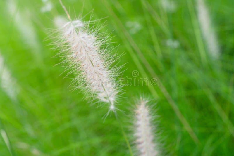 Fleur blanche sensible molle d'herbe sur le fond vert de nature de champ de pré d'été images stock