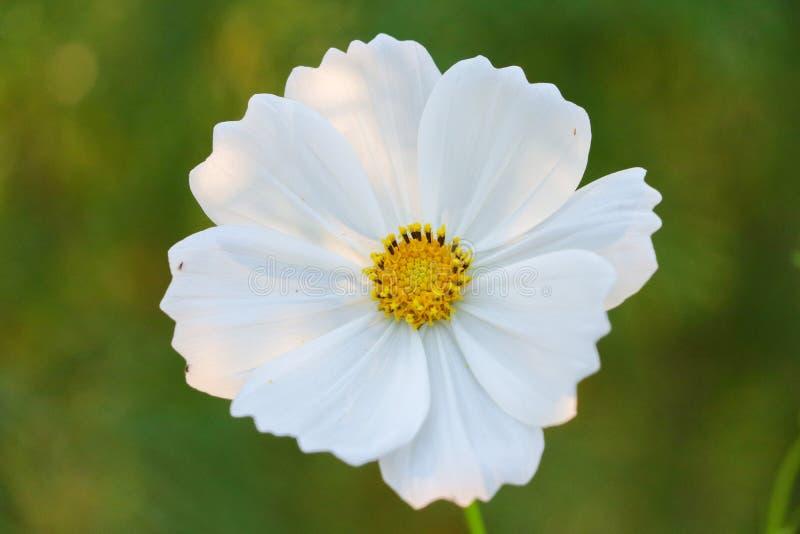 Fleur blanche simple sur la couleur verte de fond blanche et verte photo libre de droits