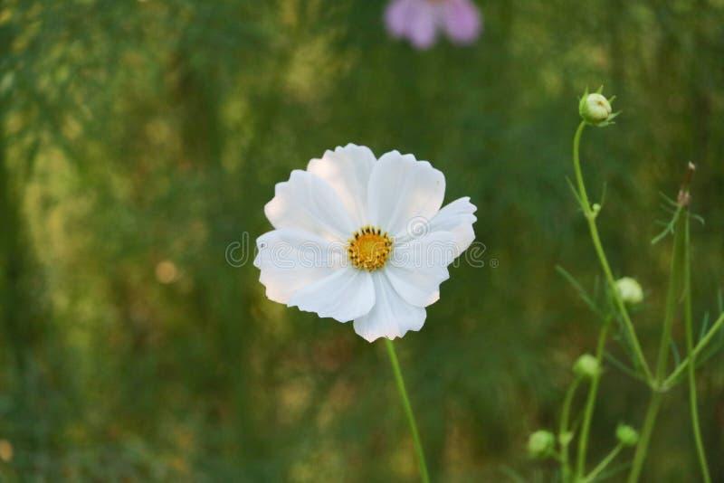Fleur blanche sur le fond vert image stock