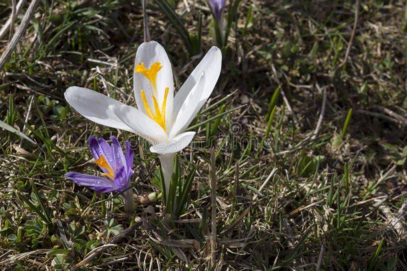 Fleur blanche unique de crocus photos stock