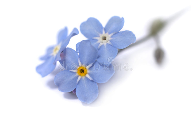 Fleur bleue photos stock