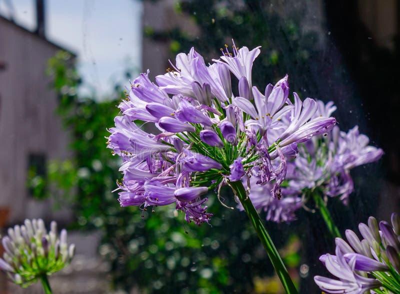 Fleur bleue africaine de lis images libres de droits