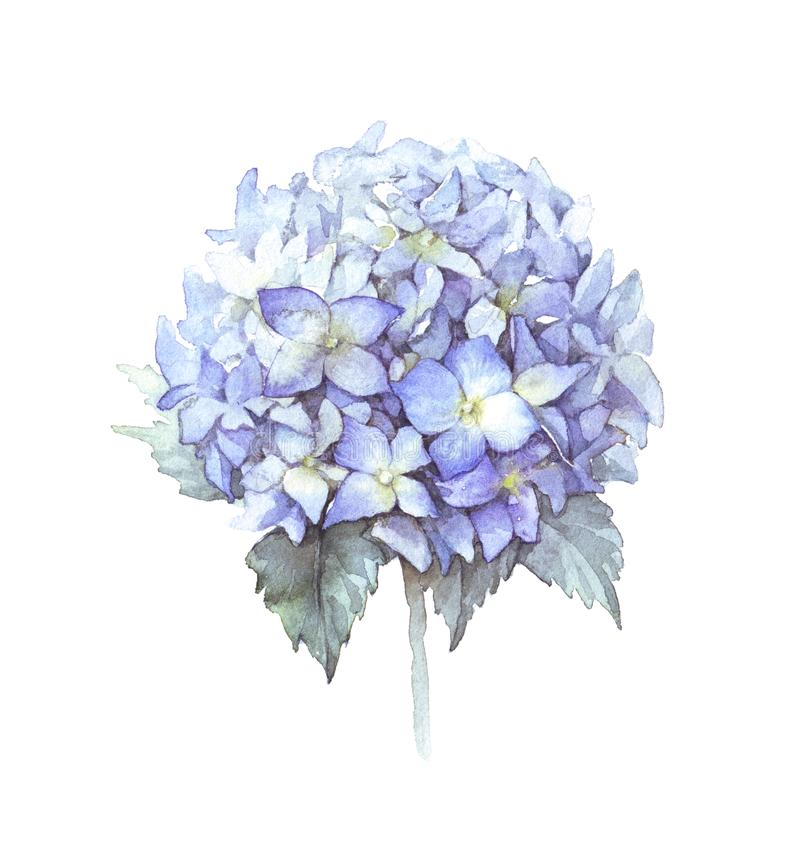 Fleur bleue d'hortensia d'aquarelle photos stock