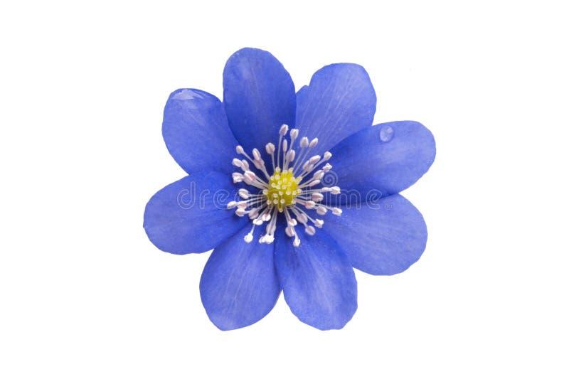 Fleur bleue d'isolement photos stock