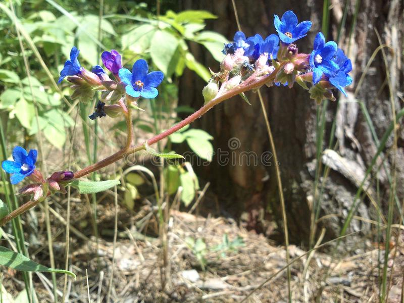 Fleur bleue dans la forêt photo libre de droits
