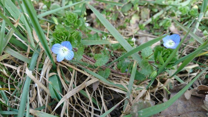 Fleur bleue dans la forêt photo stock