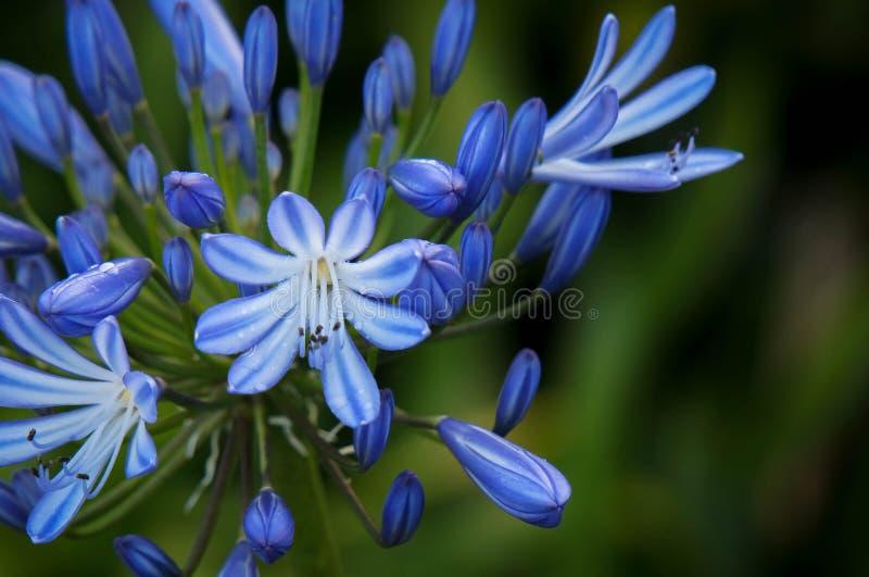 Fleur bleue dans un coin sur un fond vert trouble photo stock