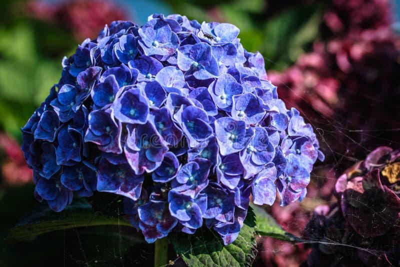 Fleur bleue dans un jardin en Allemagne images libres de droits