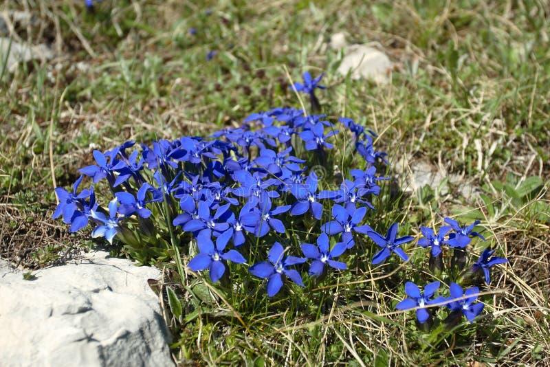 Fleur bleue de gentiane (verna gentiana) en Bosnie images libres de droits