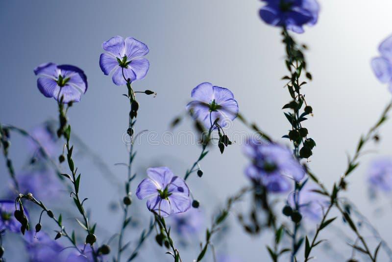 Fleur bleue de fleur de lin en été photo stock