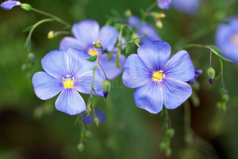 Fleur bleue de lin textile images libres de droits