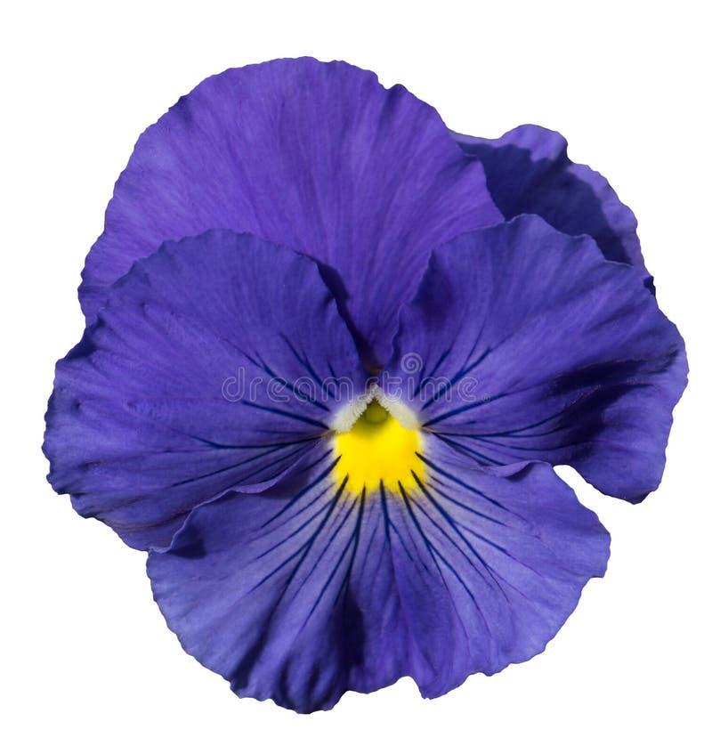 Fleur bleue de pensée d'isolement sur le blanc images libres de droits