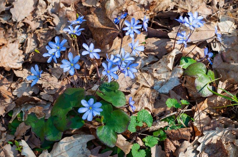 Fleur bleue de ressort de hepatica d'anémone photo libre de droits