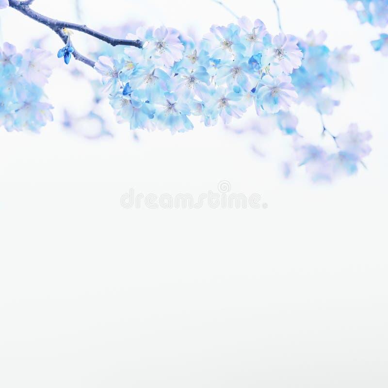 Fleur bleue de ressort sur le fond blanc Cadre floral rose fond de nature de printemps images stock