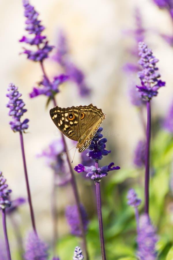 Fleur bleue de Salvia image stock