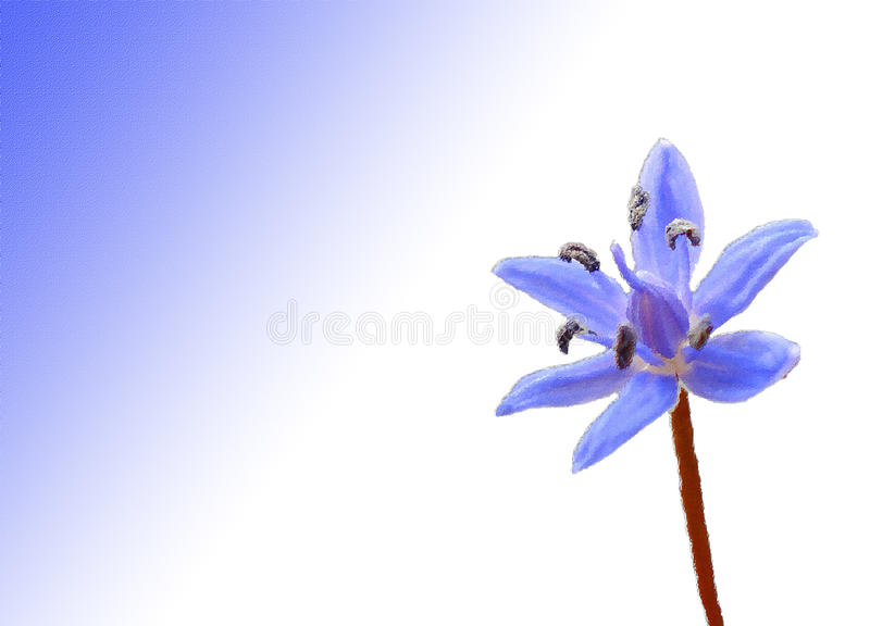 Fleur bleue de Scilla illustration libre de droits