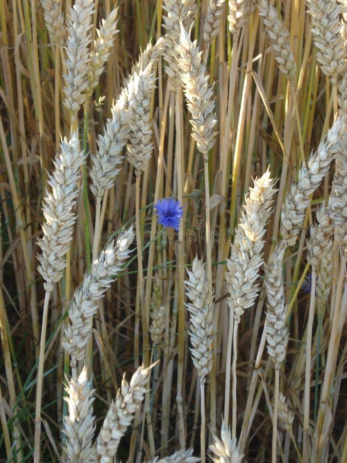 Fleur bleue en nature de weath image libre de droits