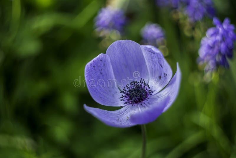 Fleur bleue gentille dans l'herbe photos libres de droits