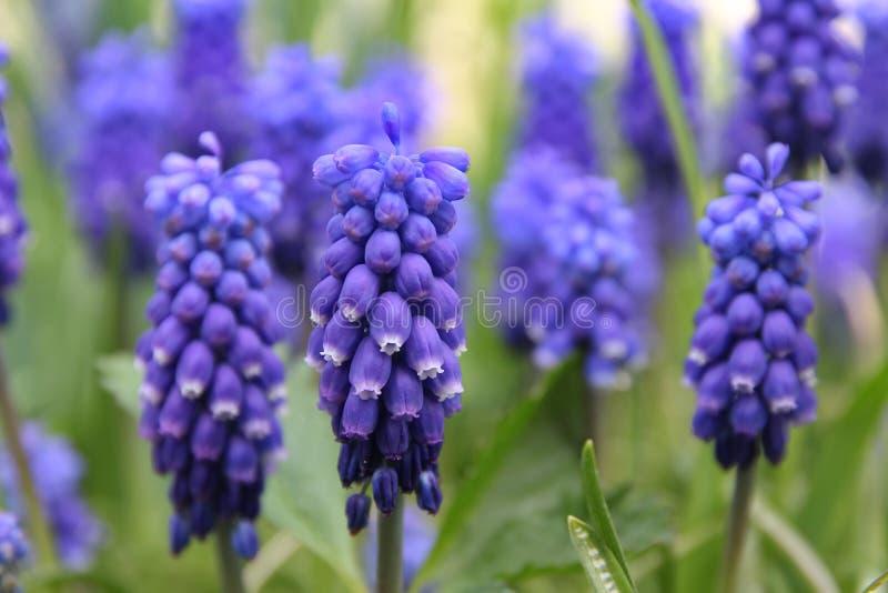 Fleur bleue, jacinthe de raisin, racemosum de Muscari photographie stock libre de droits