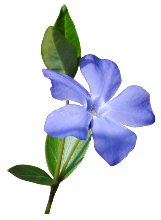 fleur bleue petite photographie stock