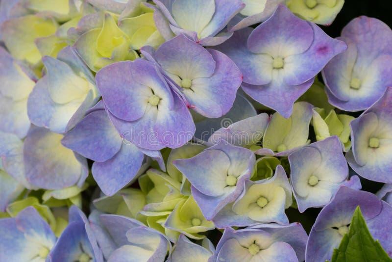 Fleur bleue pourpre d'hortensia de Bigleaf avec l'hortensia français de nuance jaune, hortensia de Lacecap, hortensia de Mophead photographie stock