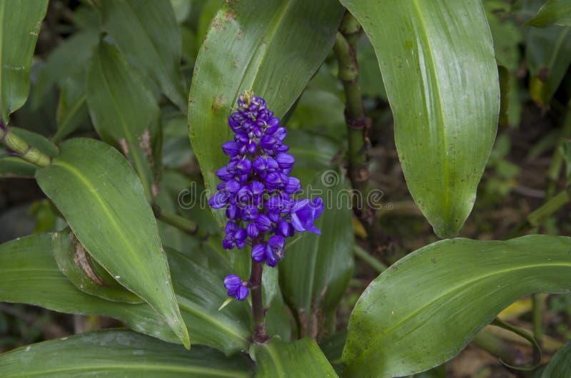 fleur bleue sauvage photo stock