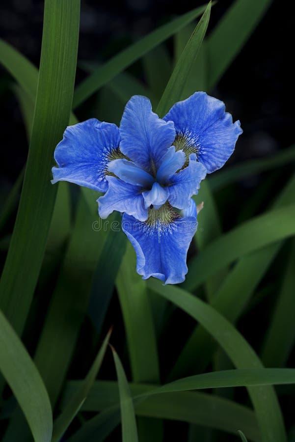 Fleur bleue simple d'iris images stock
