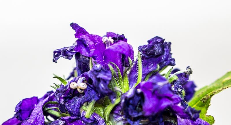 Fleur bleue sur le fond d'isolement par blanc images libres de droits