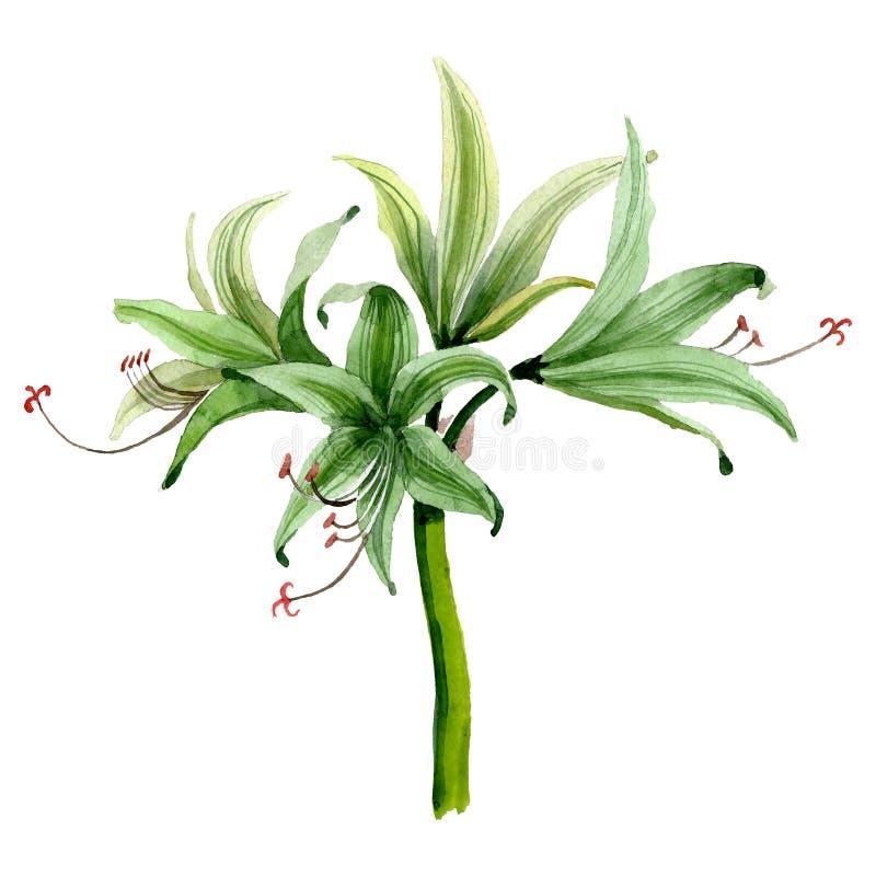 Fleur botanique florale d'amaryllis blanche Positionnement de fond d'aquarelle Élément d'isolement d'illustration d'amaryllis photo libre de droits