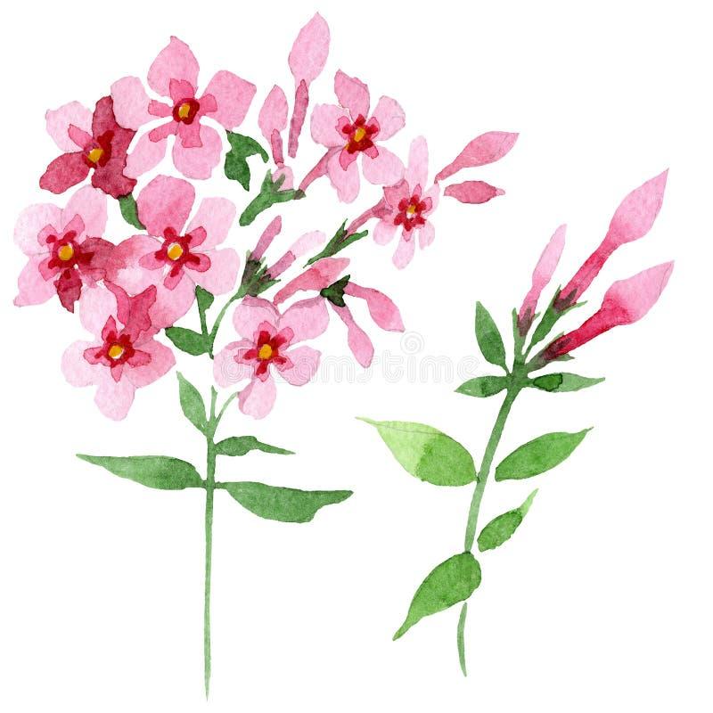 Fleur botanique foral de phlox de rose Ensemble d'illustration de fond d'aquarelle Élément d'isolement d'illustration de phlox illustration stock