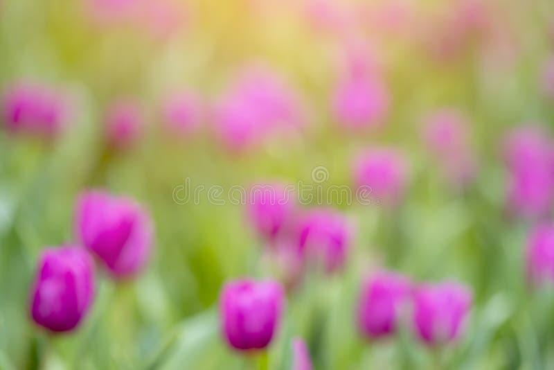 Fleur brouillée des tulipes au printemps au jardin, fond coloré photo libre de droits