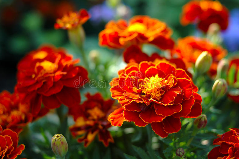 Fleur (brune) orange lumineuse de calendula (souci). image stock