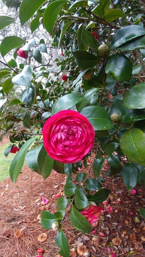 Fleur Camilla rouge d'art photographie stock libre de droits